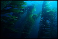 Kelp forest, Channel Islands National Marine Sanctuary. Channel Islands National Park, California, USA. (color)