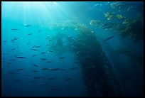 Giant kelp forest, fish, and sunrays underwater. Channel Islands National Park, California, USA. (color)