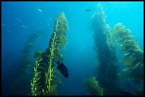 Kelp plants with pneumatocysts (air bladders). Channel Islands National Park ( color)