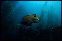 Garibaldi fish in kelp forest, Annacapa Marine reserve. Channel Islands National Park ( color)