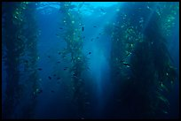 Giant Kelp underwater forest. Channel Islands National Park ( color)