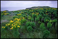 Giant Coreopsis and East Anacapa. Channel Islands National Park, California, USA.