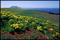 Giant Coreopsis, wildflowers, and Anacapa islands. Channel Islands National Park, California, USA. (color)