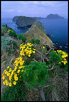 Coreopsis in bloom near Inspiration Point, morning, Anacapa. Channel Islands National Park, California, USA. (color)