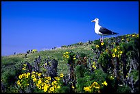 Western seagull on giant coreopsis. Channel Islands National Park, California, USA.