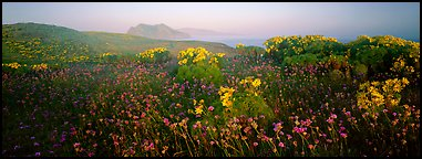 Wildflowers and early coastal mist, Anacapa Island. Channel Islands National Park (Panoramic color)