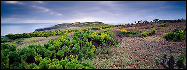 Carpet of iceplant and Coreopsis, Anacapa Island. Channel Islands National Park (Panoramic color)