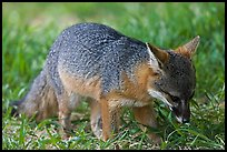 Critically endangered Coast Fox (Channel Islands Fox), Santa Cruz Island. Channel Islands National Park, California, USA.