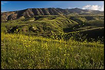 Mustard in bloom and interior hills, Santa Cruz Island. Channel Islands National Park, California, USA.