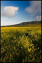 Flowers and hills near Potato Harbor, late afternoon, Santa Cruz Island. Channel Islands National Park ( color)