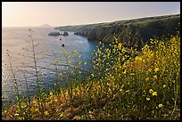 Mustard in bloom and seacliffs, Scorpion Anchorage, Santa Cruz Island. Channel Islands National Park, California, USA. (color)