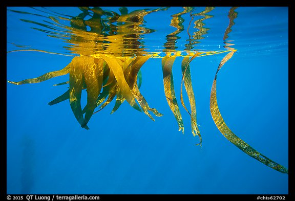Drifting kelp and reflection, Santa Barbara Island. Channel Islands National Park (color)