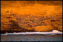 Cormorant colony at sunrise, Santa Barbara Island. Channel Islands National Park ( color)