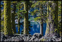 Western Hemlock (Tsuga mertensiana) trunks, Wizard Island. Crater Lake National Park ( color)