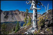 Massive trunk of whitebark pine near Wizard Island summit. Crater Lake National Park ( color)