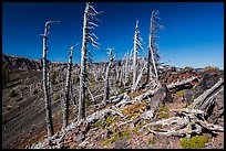 Grove of Whitebark pines on top of Wizard Island cinder cone. Crater Lake National Park ( color)