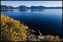 Rabbitbrush in late summer, Cleetwood Cove. Crater Lake National Park ( color)