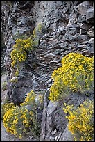 Sage flowers and cliff, Cleetwood Cove. Crater Lake National Park ( color)