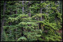 Western Hemlock forest. Crater Lake National Park ( color)