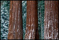Three Sequoias trunks in Grant Grove, winter. Kings Canyon National Park, California, USA.