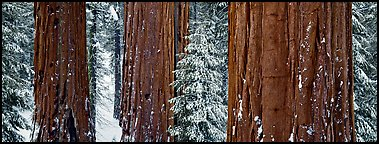 Sequoias grove in winter. Kings Canyon  National Park (Panoramic color)