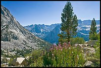 Fireweed and pine trees above Le Conte Canyon. Kings Canyon National Park, California, USA. (color)