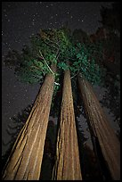 Group of sequoia trees under the stars. Kings Canyon National Park, California, USA. (color)
