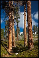 Ponderosa pine trees and sky, Hotel Creek. Kings Canyon National Park ( color)