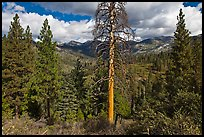 Tall standing dead tree and forest. Kings Canyon National Park ( color)