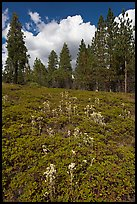 Wildflowers and pine forest. Kings Canyon National Park ( color)