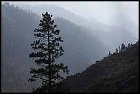 Silhouetted tree and canyon ridges. Kings Canyon National Park ( color)