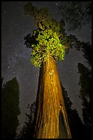 General Grant tree under starry skies. Kings Canyon National Park, California, USA. (color)