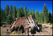 Big sequoia stump. Giant Sequoia National Monument, Sequoia National Forest, California, USA ( color)