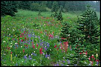 Wildflowers and trees at Paradise. Mount Rainier National Park, Washington, USA. (color)