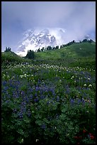 Lupine and Mt Rainier shrouded in fog from Paradise. Mount Rainier National Park, Washington, USA. (color)