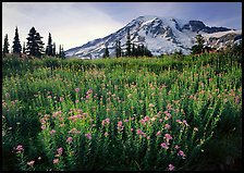 Field of pink flowers and Mount Rainier, late afternoon. Mount Rainier National Park, Washington, USA.