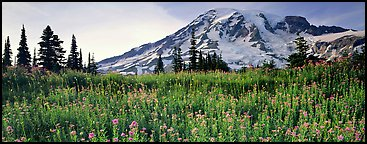 Carpet of wildflowers and snowy mountain. Mount Rainier National Park (Panoramic color)