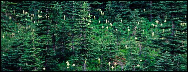 Bear grass and connifers. Mount Rainier National Park (Panoramic color)