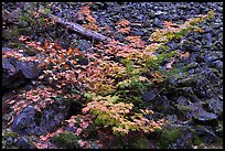 Shrubs in autumn color growing on talus slope. Mount Rainier National Park, Washington, USA. (color)