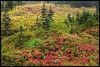 Paradise meadow in the fall. Mount Rainier National Park ( color)