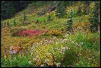 Wildflowers bloom while berry plants turn to autumn color in background. Mount Rainier National Park, Washington, USA. (color)