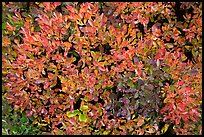 Close-up of berry leaves in autumn color. Mount Rainier National Park, Washington, USA. (color)