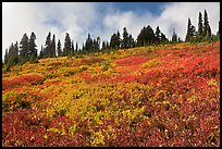 Brighly colored meadow and tree line in autumn. Mount Rainier National Park, Washington, USA. (color)
