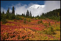 Mount Rainier emerging above clouds and meadows in autumn. Mount Rainier National Park ( color)