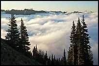 Sea of clouds and Governors Ridge, early morning. Mount Rainier National Park ( color)