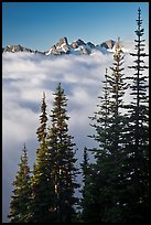 Spruce trees and cloud-filled valley. Mount Rainier National Park ( color)