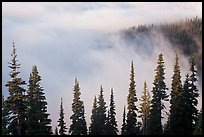 Trees, ridge, and fog. Mount Rainier National Park ( color)