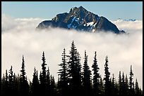 Spruce trees and Goat Island Mountain emerging from clouds. Mount Rainier National Park ( color)