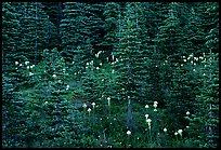 Beargrass and dark conifer trees. Mount Rainier National Park, Washington, USA. (color)