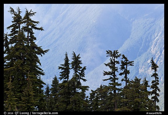 Conifers and hazy forested slope, North Cascades National Park.  (color)